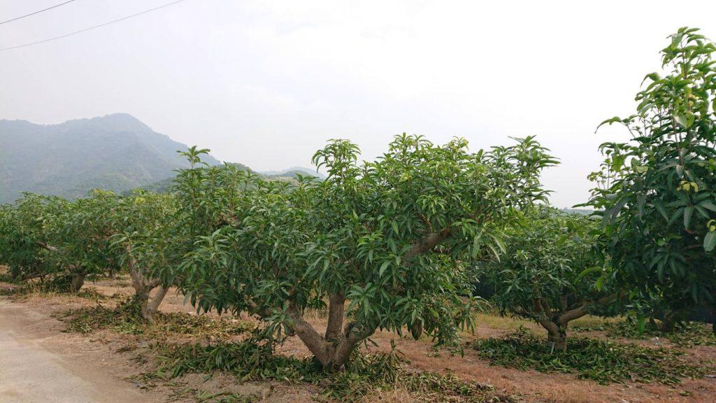 台湾マンゴー農場の様子