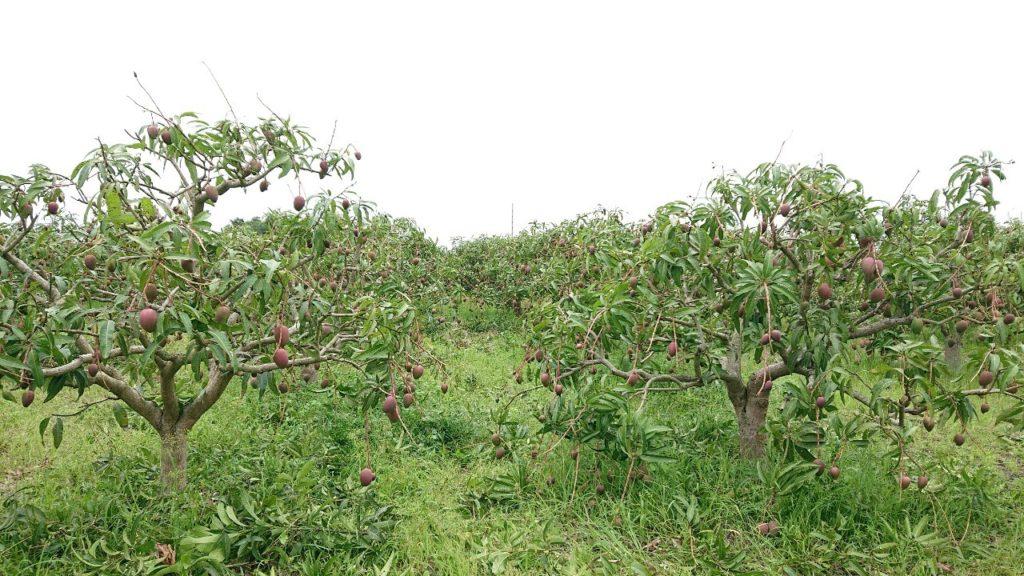 マンゴー生産地の紹介