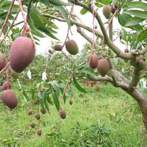 2021年の台湾アップルマンゴーの季節がやってきました。