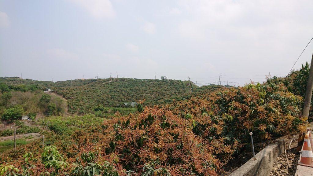 台湾台南アップルマンゴー